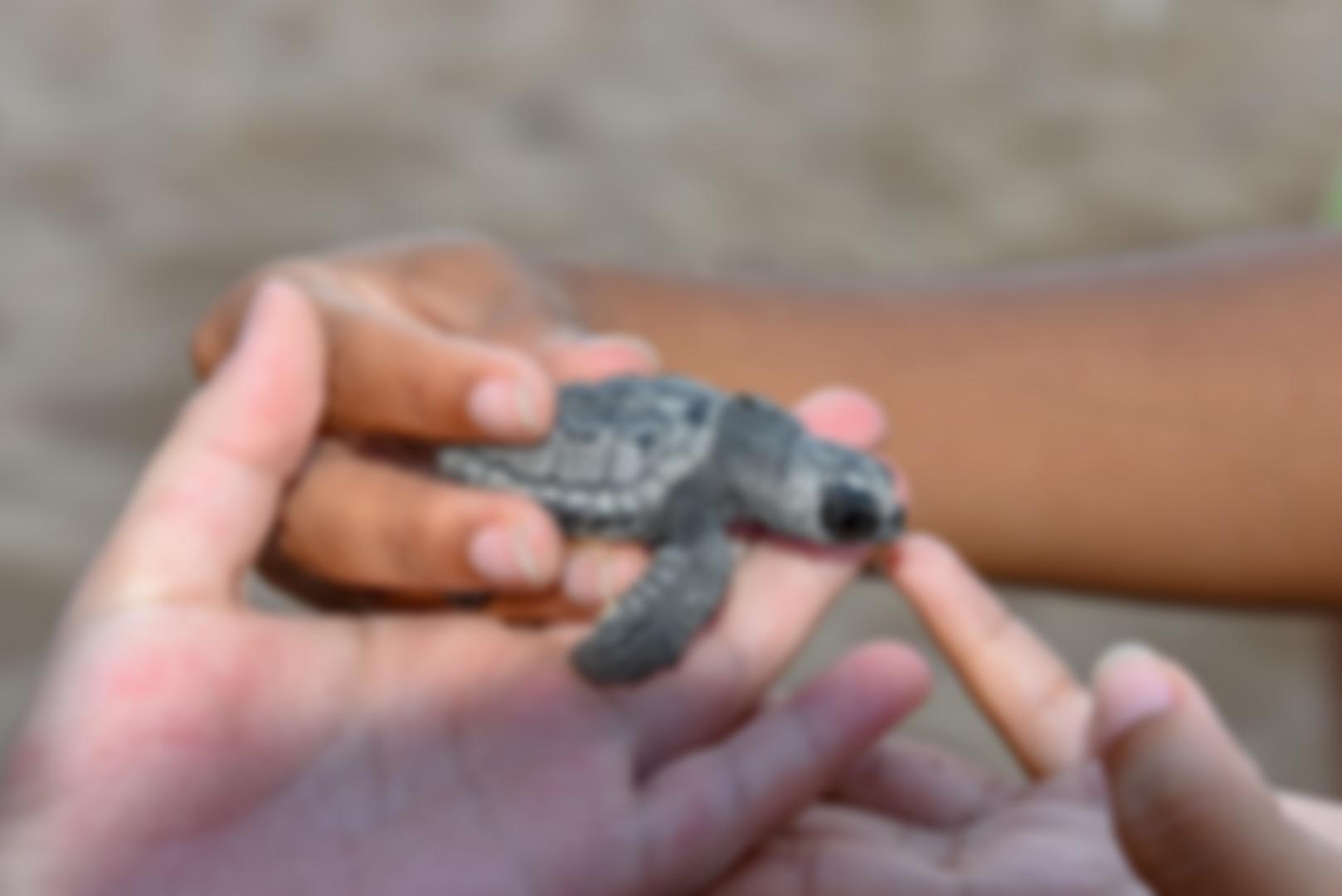 Tartarugas bebês no Tamar